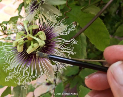 passion pollination