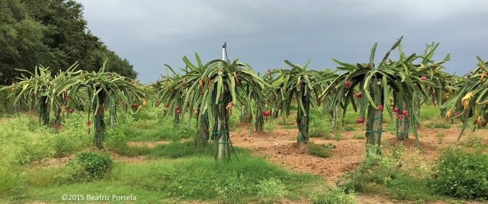 Pitaya grove