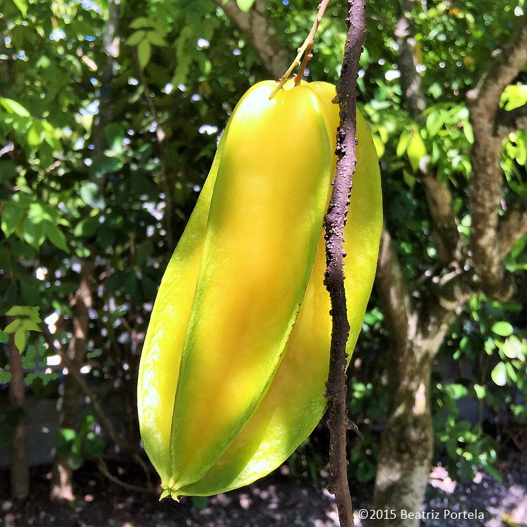 star fruit tree fruit picking near me